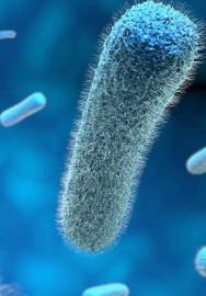 Listeria genres